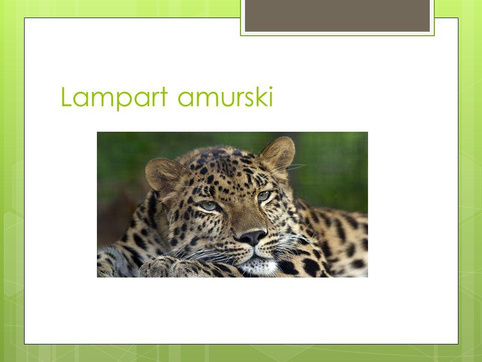 Gatunki wytępione lub zagrożone Niektóre podgatunki lamparta są skrajnie zagrożone wyginięciem: lampart amurski, nimr, lampart anatolijski, lampart be