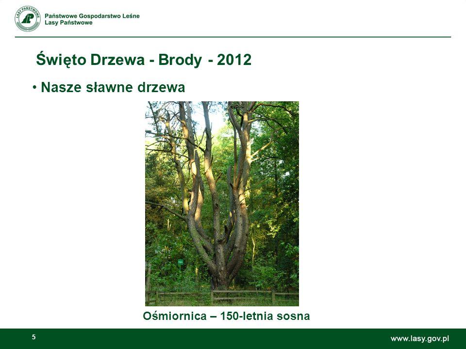 5 Święto Drzewa - Brody - 2012 Ośmiornica – 150-letnia sosna Nasze sławne drzewa
