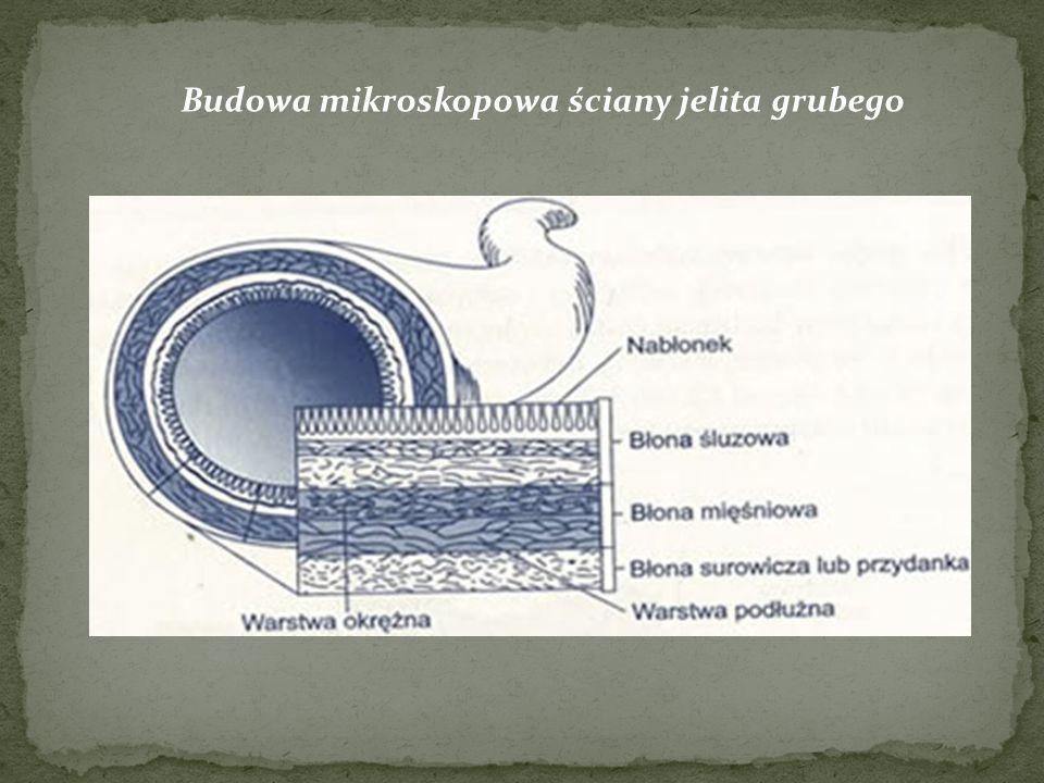 Budowa mikroskopowa ściany jelita grubego