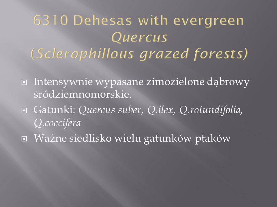 Intensywnie wypasane zimozielone dąbrowy śródziemnomorskie. Gatunki: Quercus suber, Q.ilex, Q.rotundifolia, Q.coccifera Ważne siedlisko wielu gatunków