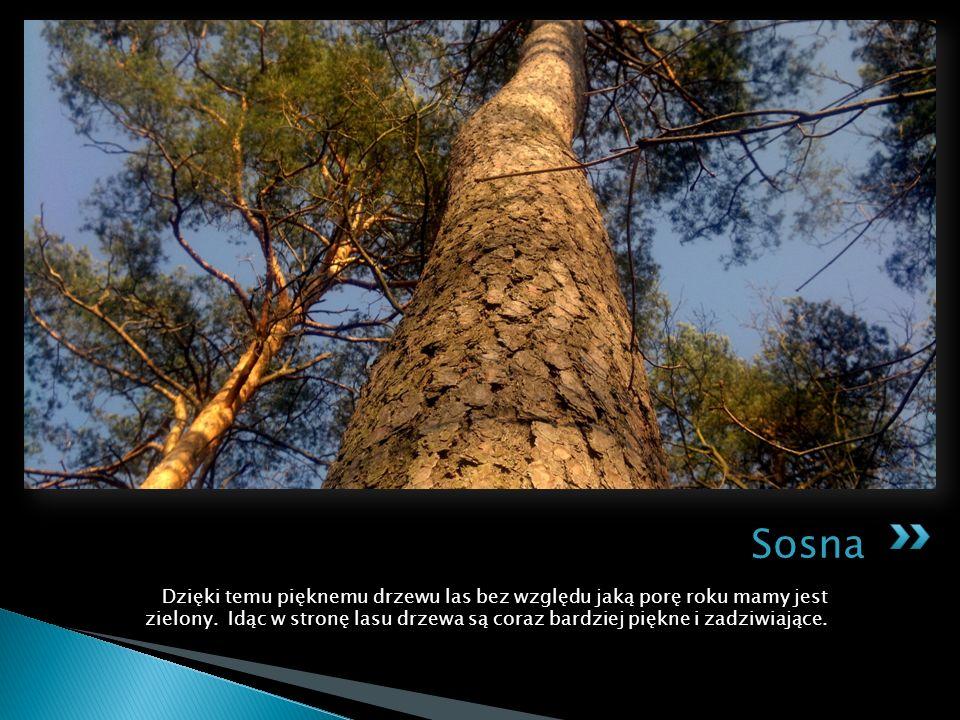 Dzięki temu pięknemu drzewu las bez względu jaką porę roku mamy jest zielony.