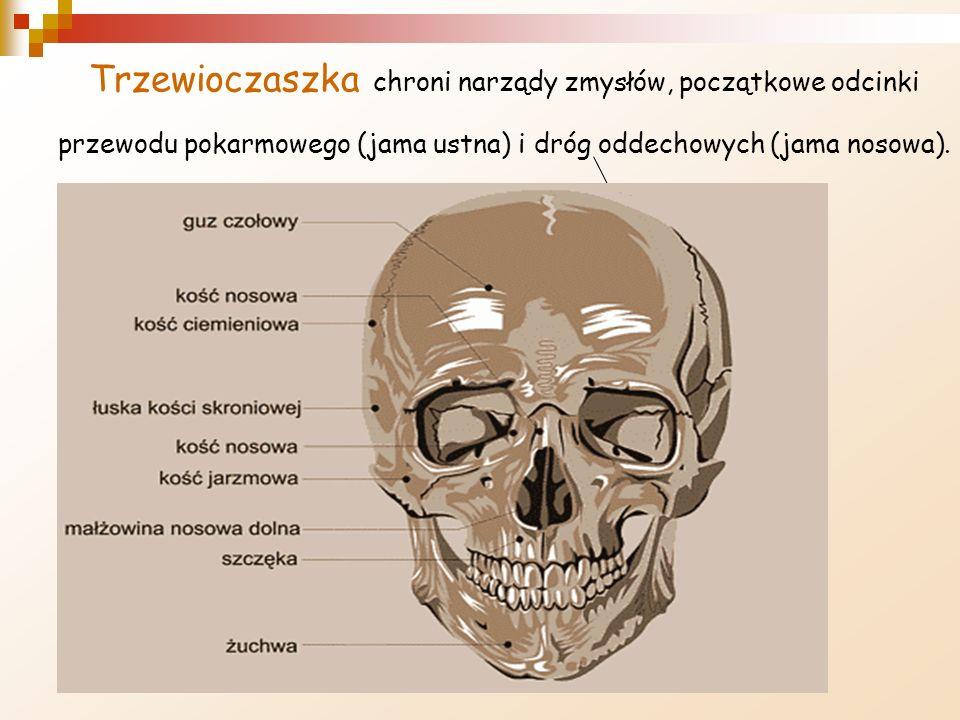 Trzewioczaszka chroni narządy zmysłów, początkowe odcinki przewodu pokarmowego (jama ustna) i dróg oddechowych (jama nosowa).