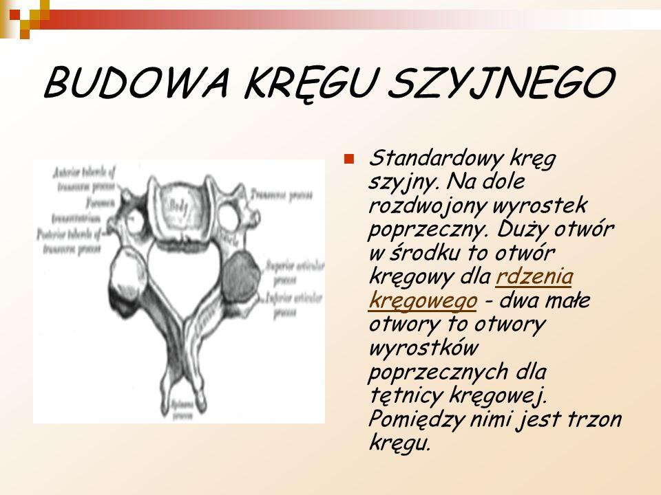 BUDOWA KRĘGU SZYJNEGO Standardowy kręg szyjny. Na dole rozdwojony wyrostek poprzeczny. Duży otwór w środku to otwór kręgowy dla rdzenia kręgowego - dw
