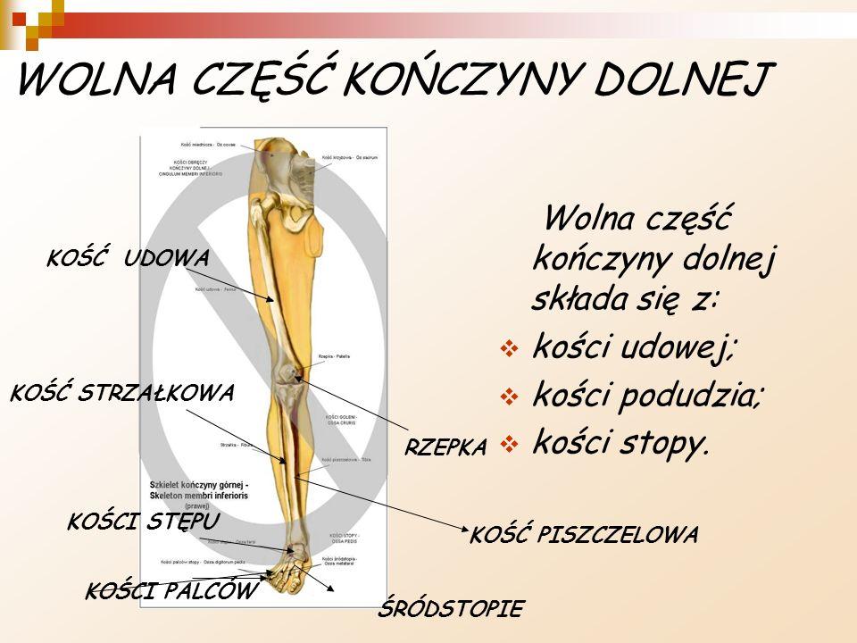 WOLNA CZĘŚĆ KOŃCZYNY DOLNEJ Wolna część kończyny dolnej składa się z: kości udowej; kości podudzia; kości stopy. RZEPKA KOŚCI STĘPU ŚRÓDSTOPIE KOŚCI P