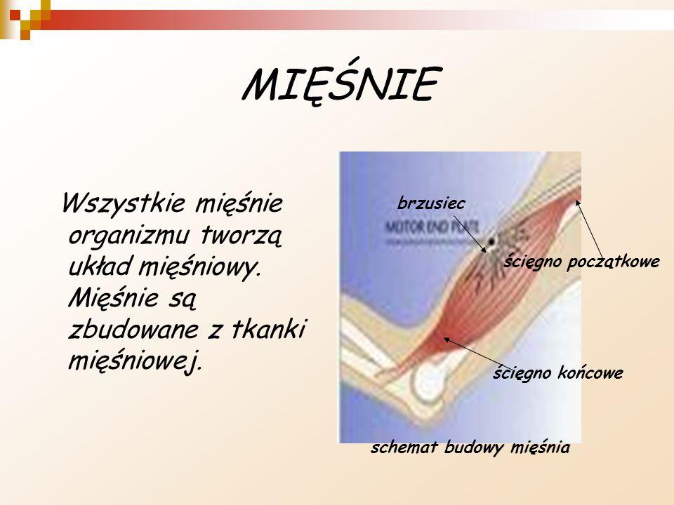 MIĘŚNIE Wszystkie mięśnie organizmu tworzą układ mięśniowy. Mięśnie są zbudowane z tkanki mięśniowej. ścięgno początkowe ścięgno końcowe brzusiec sche