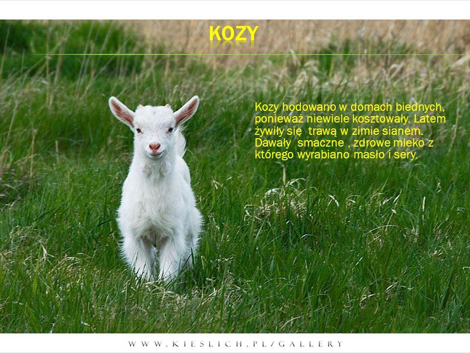 Kozy hodowano w domach biednych, ponieważ niewiele kosztowały. Latem żywiły się trawą w zimie sianem. Dawały smaczne, zdrowe mleko z którego wyrabiano