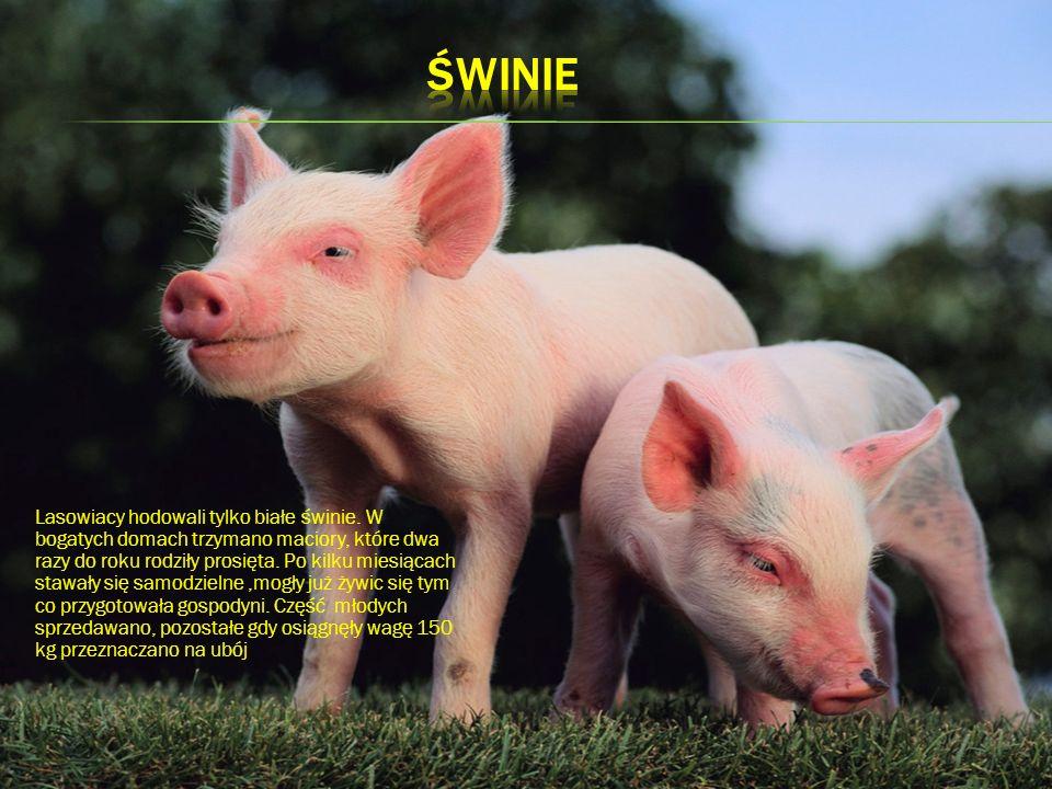 Lasowiacy hodowali tylko białe świnie. W bogatych domach trzymano maciory, które dwa razy do roku rodziły prosięta. Po kilku miesiącach stawały się sa