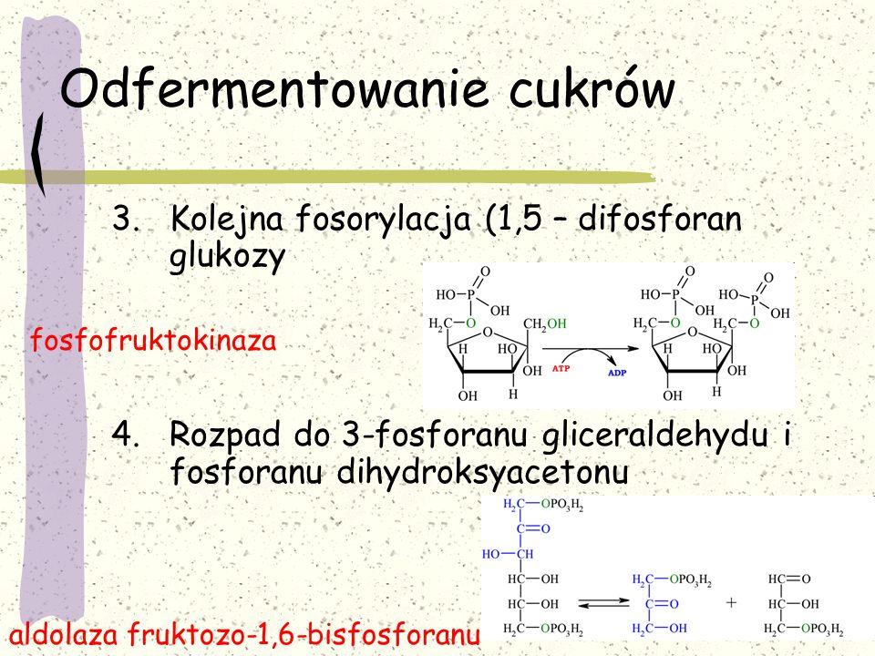 Odfermentowanie cukrów 3.Kolejna fosorylacja (1,5 – difosforan glukozy 4.Rozpad do 3-fosforanu gliceraldehydu i fosforanu dihydroksyacetonu fosfofrukt