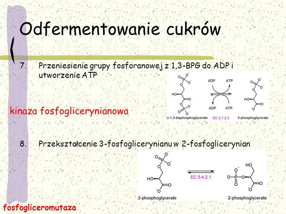 Odfermentowanie cukrów 7.Przeniesienie grupy fosforanowej z 1,3-BPG do ADP i utworzenie ATP 8.Przekształcenie 3-fosfoglicerynianu w 2-fosfoglicerynian