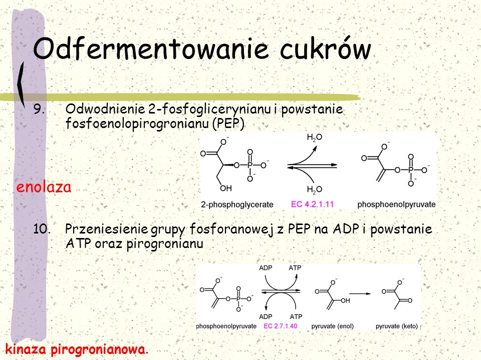 Odfermentowanie cukrów 9.Odwodnienie 2-fosfoglicerynianu i powstanie fosfoenolopirogronianu (PEP) 10.Przeniesienie grupy fosforanowej z PEP na ADP i p