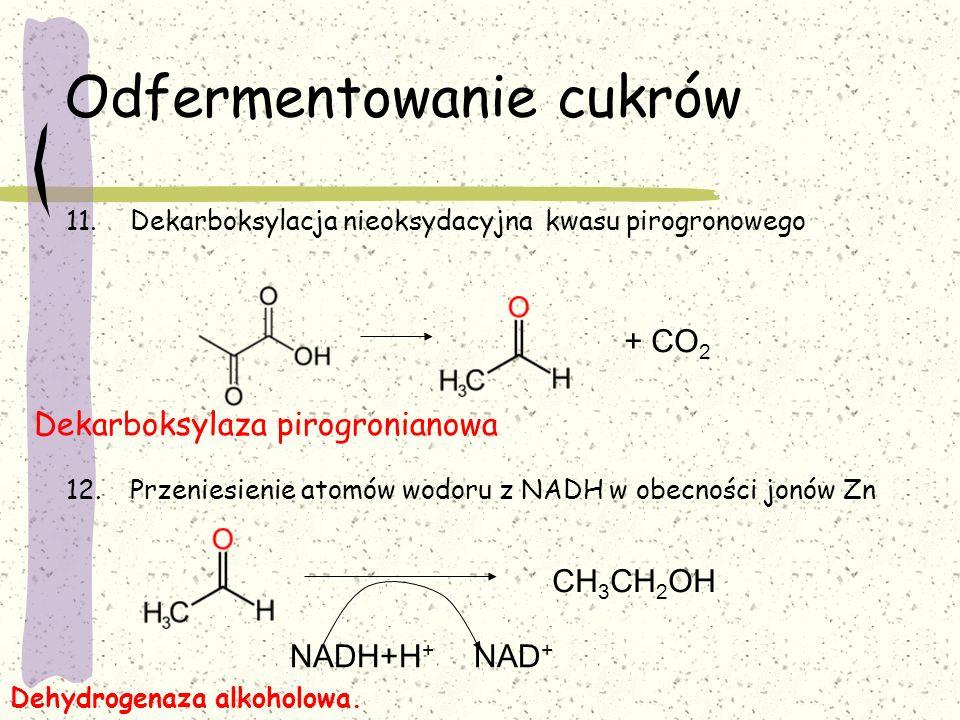 Odfermentowanie cukrów 11.Dekarboksylacja nieoksydacyjna kwasu pirogronowego 12.Przeniesienie atomów wodoru z NADH w obecności jonów Zn Dekarboksylaza