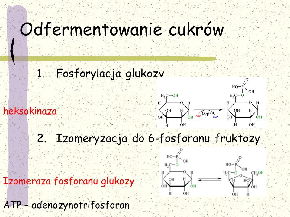 Odfermentowanie cukrów 1.Fosforylacja glukozy 2.Izomeryzacja do 6-fosforanu fruktozy heksokinaza Izomeraza fosforanu glukozy ATP – adenozynotrifosfora