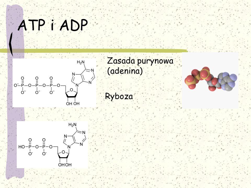 Przemiany substancji mineralnych Fosfor – budowa ATP i fosfolipidów Buforowanie treści komórki Niedobór zakłóca fermentację przez spowolnienie namnażania