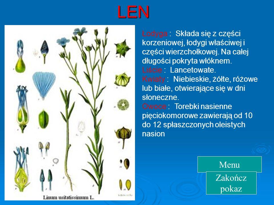 LEN Łodyga : Składa się z części korzeniowej, łodygi właściwej i części wierzchołkowej.
