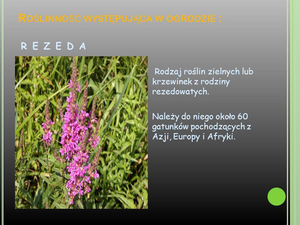 R O Ś LINNO ŚĆ WYST Ę PUJ Ą CA W OGRODZIE : R E Z E D A Rodzaj roślin zielnych lub krzewinek z rodziny rezedowatych. Należy do niego około 60 gatunków