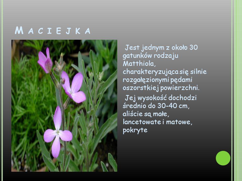 M A C I E J K A Jest jednym z około 30 gatunków rodzaju Matthiola, charakteryzująca się silnie rozgałęzionymi pędami oszorstkiej powierzchni. Jej wyso