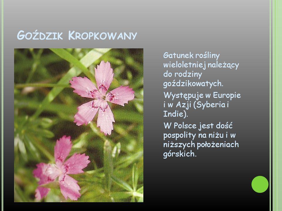 G OŹDZIK K ROPKOWANY Gatunek rośliny wieloletniej należący do rodziny goździkowatych. Występuje w Europie i w Azji (Syberia i Indie). W Polsce jest do