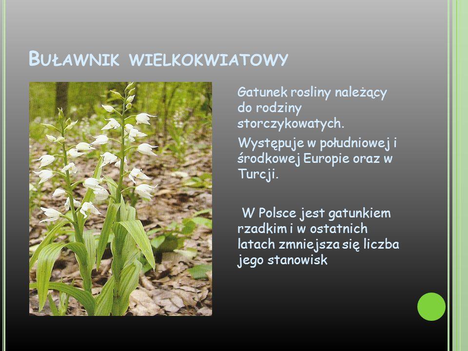 B UŁAWNIK WIELKOKWIATOWY Gatunek rosliny należący do rodziny storczykowatych. Występuje w południowej i środkowej Europie oraz w Turcji. W Polsce jest