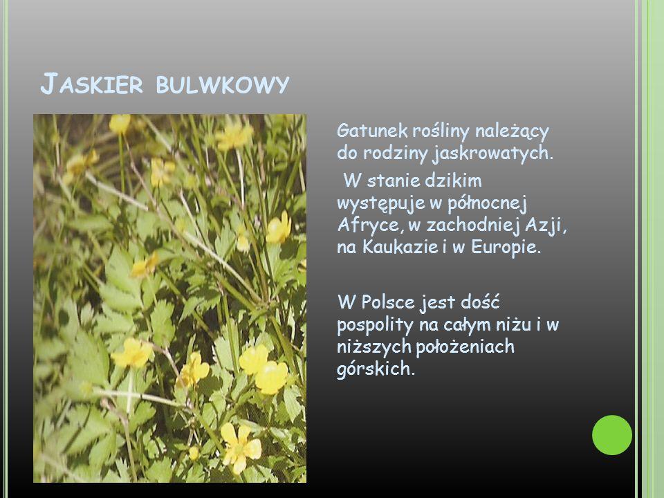 J ASKIER BULWKOWY Gatunek rośliny należący do rodziny jaskrowatych. W stanie dzikim występuje w północnej Afryce, w zachodniej Azji, na Kaukazie i w E