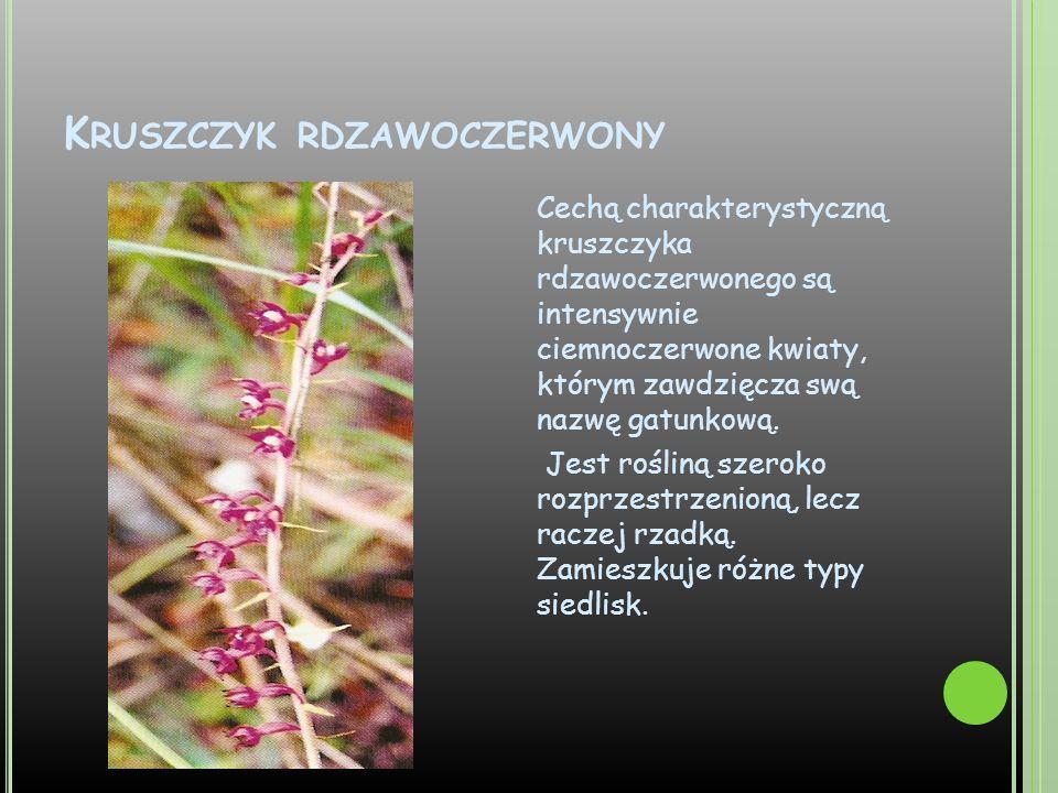 K RUSZCZYK RDZAWOCZERWONY Cechą charakterystyczną kruszczyka rdzawoczerwonego są intensywnie ciemnoczerwone kwiaty, którym zawdzięcza swą nazwę gatunk