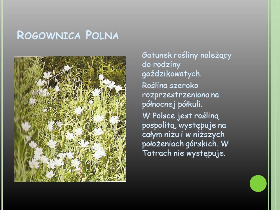 R OGOWNICA P OLNA Gatunek rośliny należący do rodziny goździkowatych. Roślina szeroko rozprzestrzeniona na północnej półkuli. W Polsce jest rośliną po