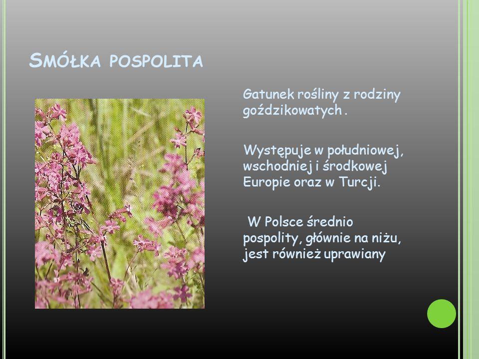 S MÓŁKA POSPOLITA Gatunek rośliny z rodziny goździkowatych. Występuje w południowej, wschodniej i środkowej Europie oraz w Turcji. W Polsce średnio po