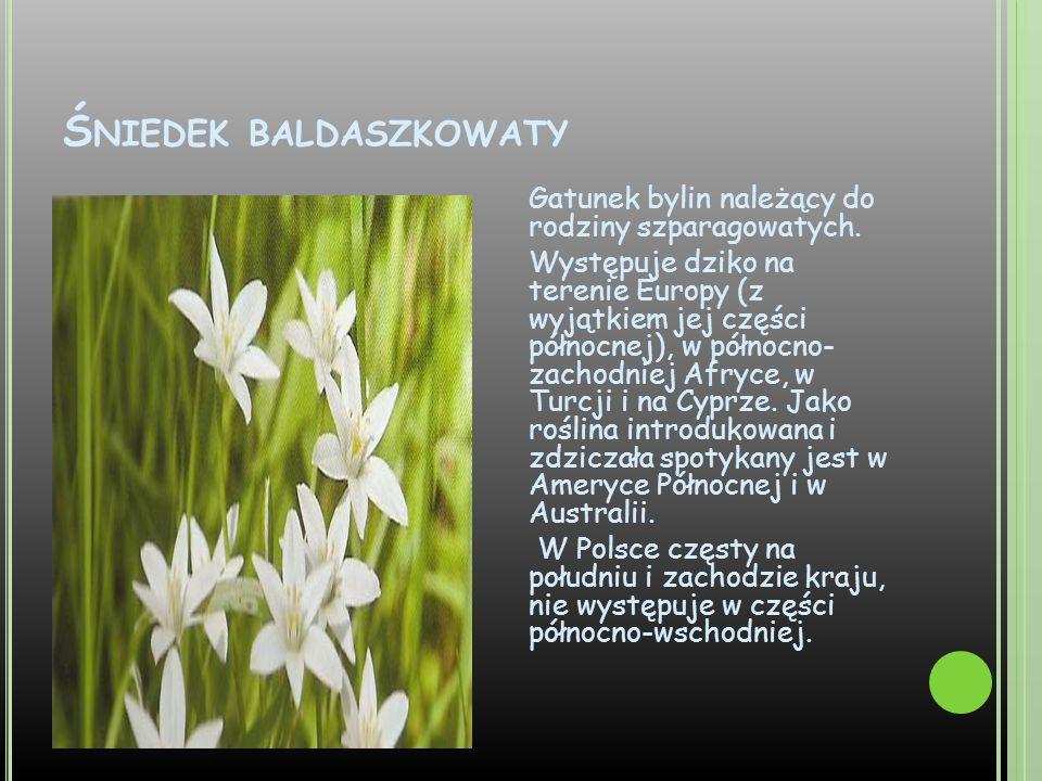 Ś NIEDEK BALDASZKOWATY Gatunek bylin należący do rodziny szparagowatych. Występuje dziko na terenie Europy (z wyjątkiem jej części północnej), w półno