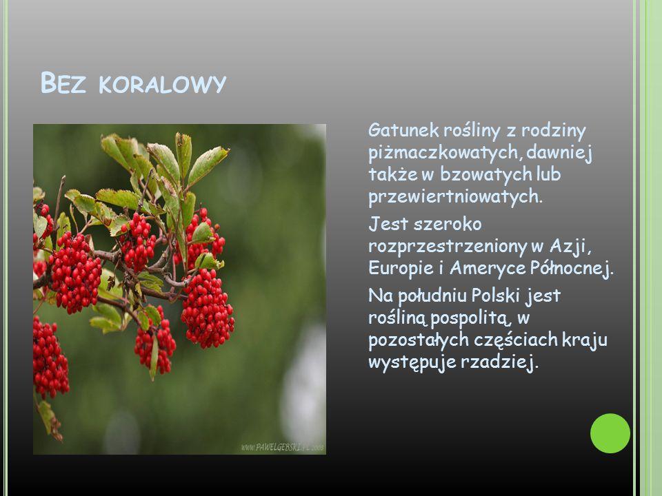 B EZ KORALOWY Gatunek rośliny z rodziny piżmaczkowatych, dawniej także w bzowatych lub przewiertniowatych. Jest szeroko rozprzestrzeniony w Azji, Euro