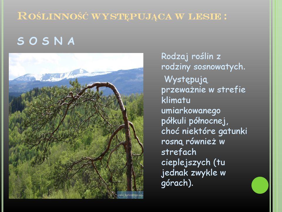 R O Ś LINNO ŚĆ WYST Ę PUJ Ą CA W LESIE : S O S N A Rodzaj roślin z rodziny sosnowatych. Występują przeważnie w strefie klimatu umiarkowanego półkuli p