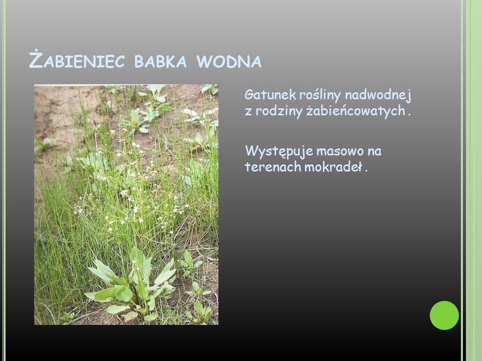 Ż ABIENIEC BABKA WODNA Gatunek rośliny nadwodnej z rodziny żabieńcowatych. Występuje masowo na terenach mokradeł.