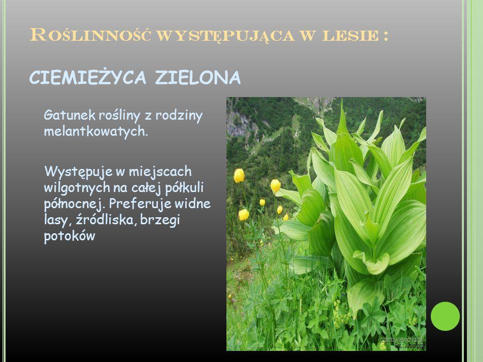 R O Ś LINNO ŚĆ WYST Ę PUJ Ą CA W LESIE : CIEMIEŻYCA ZIELONA Gatunek rośliny z rodziny melantkowatych. Występuje w miejscach wilgotnych na całej półkul