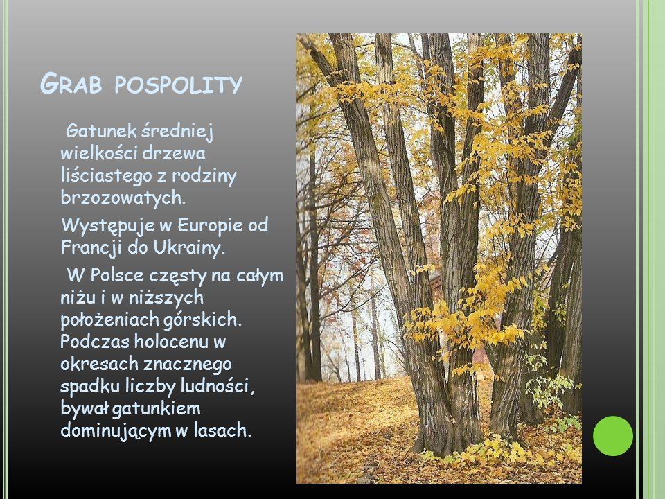 G RAB POSPOLITY Gatunek średniej wielkości drzewa liściastego z rodziny brzozowatych. Występuje w Europie od Francji do Ukrainy. W Polsce częsty na ca