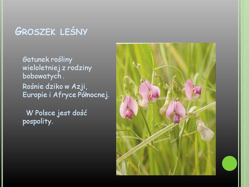 G ROSZEK LEŚNY Gatunek rośliny wieloletniej z rodziny bobowatych. Rośnie dziko w Azji, Europie i Afryce Północnej. W Polsce jest dość pospolity.