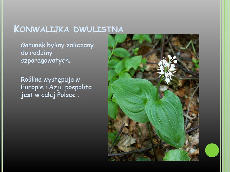 K ONWALIJKA DWULISTNA Gatunek byliny zaliczany do rodziny szparagowatych. Roślina występuje w Europie i Azji, pospolita jest w całej Polsce.