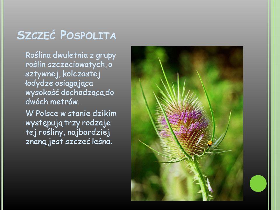 S ZCZEĆ P OSPOLITA Roślina dwuletnia z grupy roślin szczeciowatych, o sztywnej, kolczastej łodydze osiągająca wysokość dochodzącą do dwóch metrów. W P