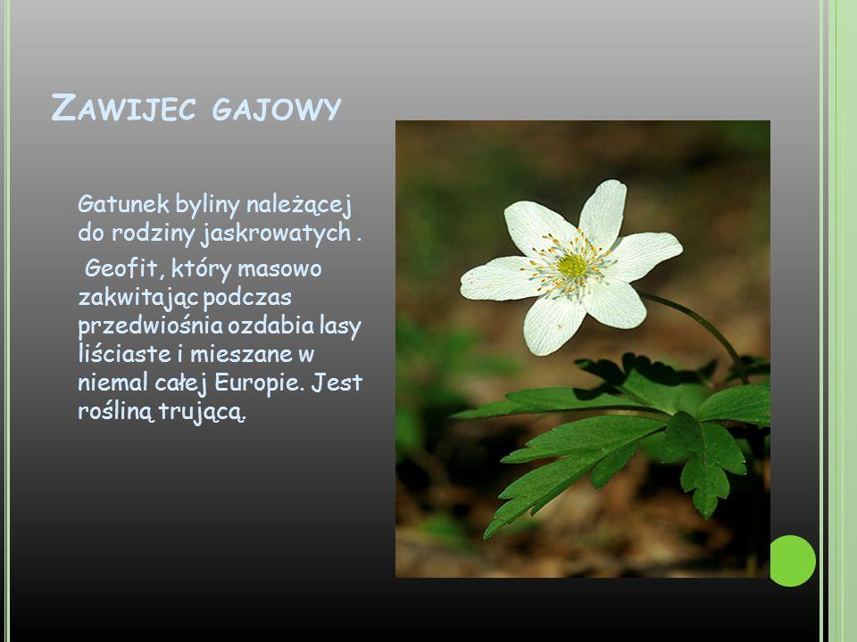 Z AWIJEC GAJOWY Gatunek byliny należącej do rodziny jaskrowatych. Geofit, który masowo zakwitając podczas przedwiośnia ozdabia lasy liściaste i miesza