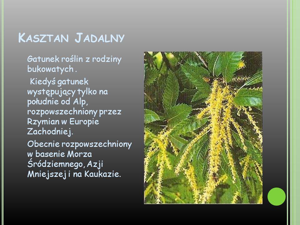 K ASZTAN J ADALNY Gatunek roślin z rodziny bukowatych. Kiedyś gatunek występujący tylko na południe od Alp, rozpowszechniony przez Rzymian w Europie Z