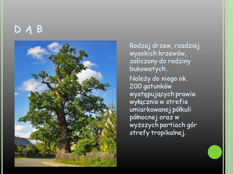 D Ą B Rodzaj drzew, rzadziej wysokich krzewów, zaliczony do rodziny bukowatych. Należy do niego ok. 200 gatunków występujących prawie wyłącznie w stre