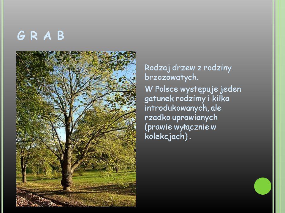 G R A B Rodzaj drzew z rodziny brzozowatych. W Polsce występuje jeden gatunek rodzimy i kilka introdukowanych, ale rzadko uprawianych (prawie wyłączni