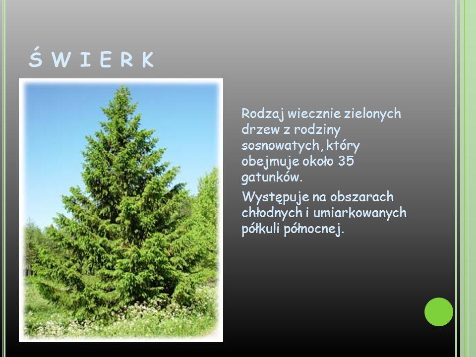 Ś W I E R K Rodzaj wiecznie zielonych drzew z rodziny sosnowatych, który obejmuje około 35 gatunków. Występuje na obszarach chłodnych i umiarkowanych