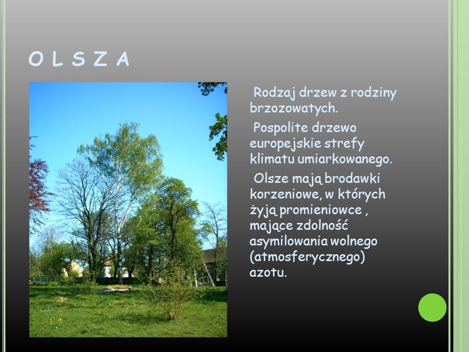 O L S Z A Rodzaj drzew z rodziny brzozowatych. Pospolite drzewo europejskie strefy klimatu umiarkowanego. Olsze mają brodawki korzeniowe, w których ży