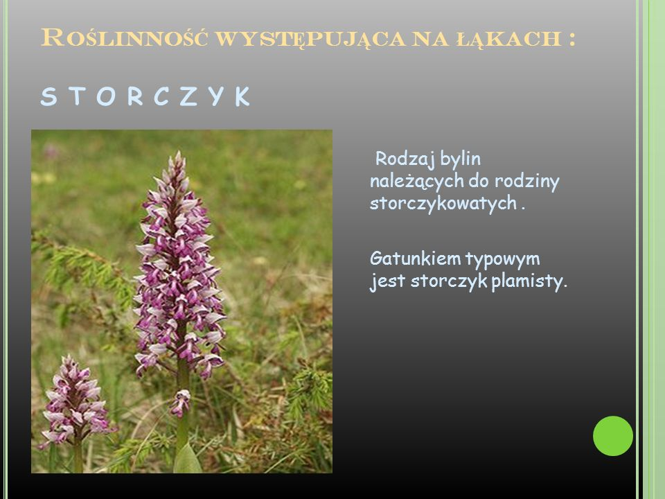 G OŹDZIK K ROPKOWANY Gatunek rośliny wieloletniej należący do rodziny goździkowatych.