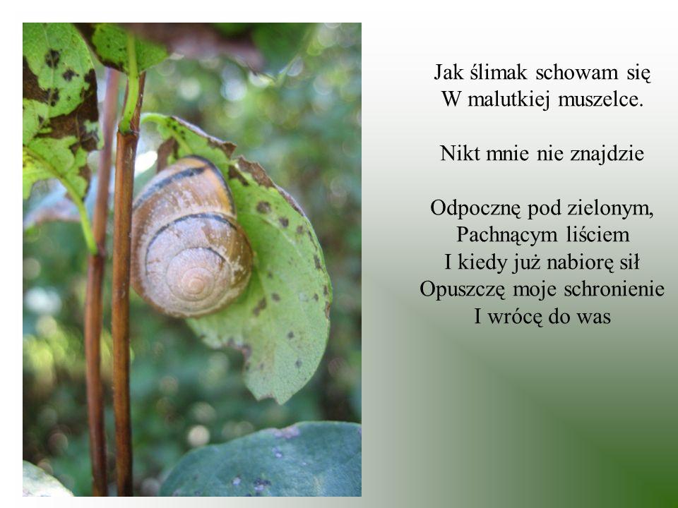 Jak ślimak schowam się W malutkiej muszelce. Nikt mnie nie znajdzie Odpocznę pod zielonym, Pachnącym liściem I kiedy już nabiorę sił Opuszczę moje sch