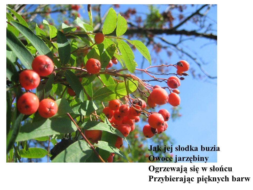 Jak jej słodka buzia Owoce jarzębiny Ogrzewają się w słońcu Przybierając pięknych barw