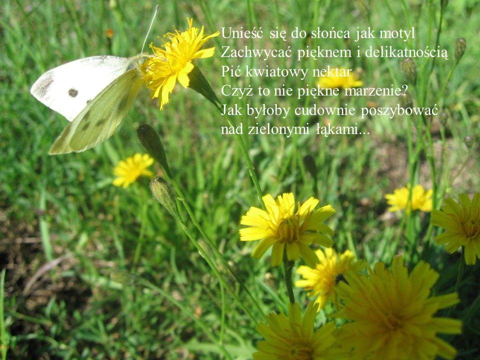 Unieść się do słońca jak motyl Zachwycać pięknem i delikatnością Pić kwiatowy nektar Czyż to nie piękne marzenie? Jak byłoby cudownie poszybować nad z
