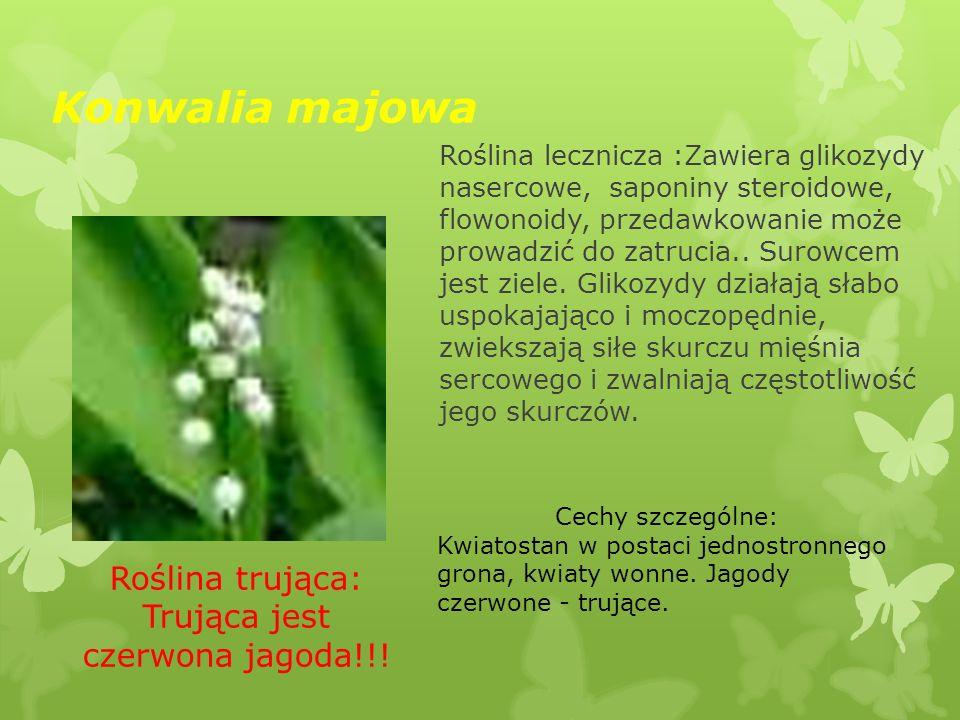 Konwalia majowa Roślina trująca: Trująca jest czerwona jagoda!!! Roślina lecznicza :Zawiera glikozydy nasercowe, saponiny steroidowe, flowonoidy, prze