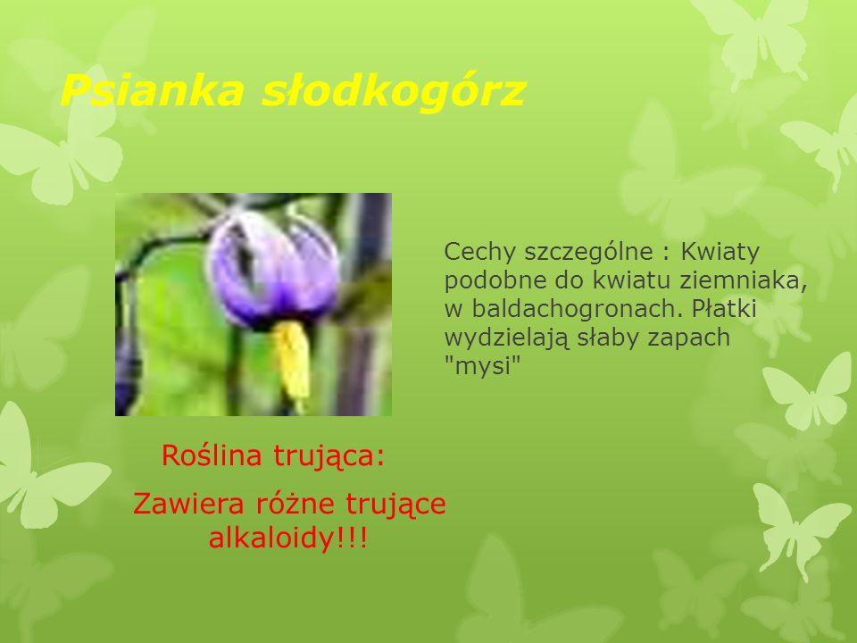 Psianka słodkogórz Roślina trująca: Zawiera różne trujące alkaloidy!!! Cechy szczególne : Kwiaty podobne do kwiatu ziemniaka, w baldachogronach. Płatk