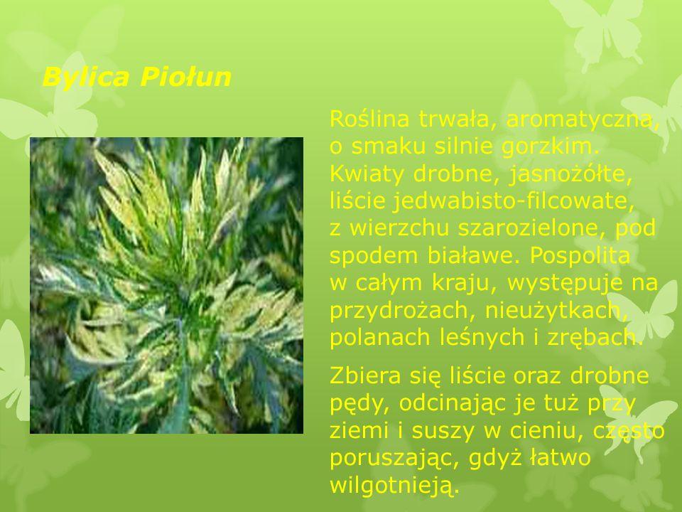 Bylica Piołun Roślina trwała, aromatyczna, o smaku silnie gorzkim. Kwiaty drobne, jasnożółte, liście jedwabisto-filcowate, z wierzchu szarozielone, po