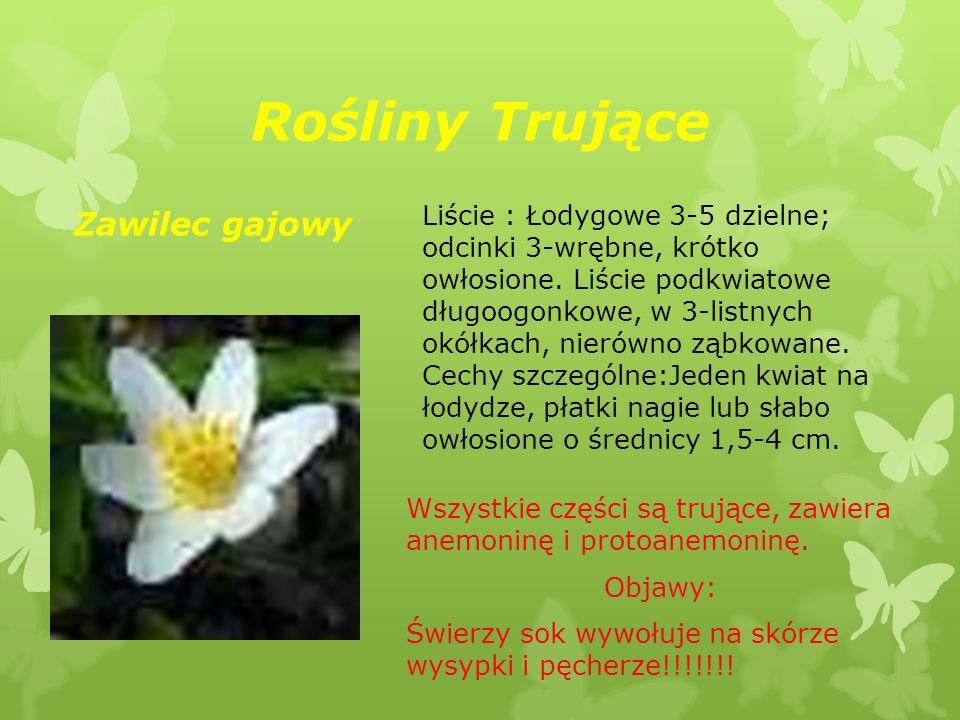 Rośliny Trujące Wszystkie części są trujące, zawiera anemoninę i protoanemoninę. Objawy: Świerzy sok wywołuje na skórze wysypki i pęcherze!!!!!!! Zawi