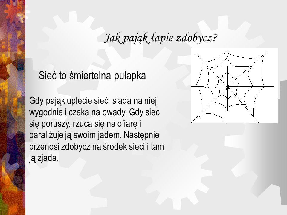 Jak pająk łapie zdobycz? Sieć to śmiertelna pułapka Gdy pająk uplecie sieć siada na niej wygodnie i czeka na owady. Gdy siec się poruszy, rzuca się na